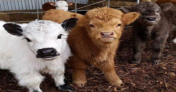 Yes, You Can Own A Fluffy Mini Cow. And They Make Great Pets!