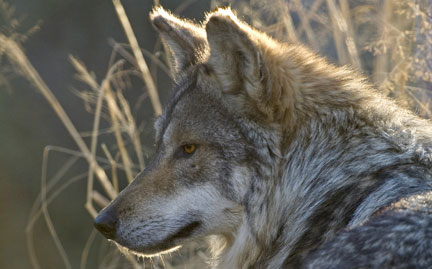 The Leonardo DiCaprio Foundation stands up to protect American gray wolves