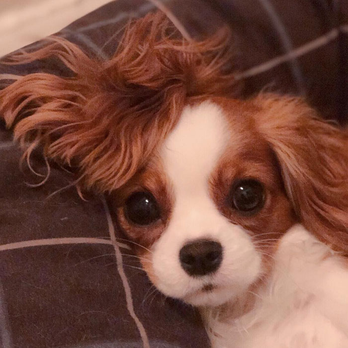 This Adorable 2-Year-Old Puppy Is So Tiny, It's Hard To Believe He's Fully Grown