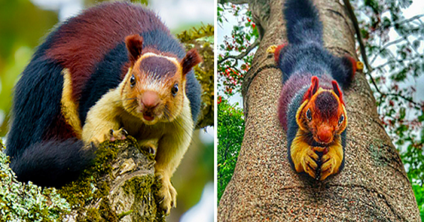 The Indian Giant Squirrel Is Almost Too Beautiful To Be Real