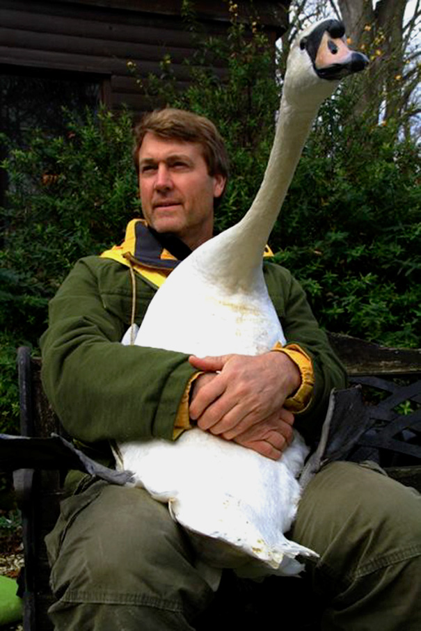 Injured Swan Gives An Unforgettable Hug To The Man Who Saved Him
