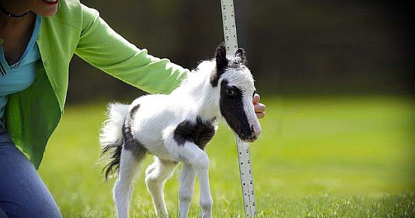 The World's Smallest Horse, Einstein, Is Bundle Of Energy