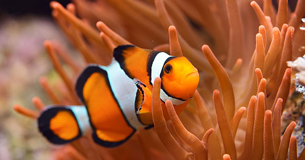 15 Interesting Facts About Adorable Clownfish (With Pictures)