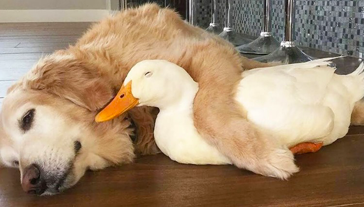 Golden Retriever And Duck Are Inseparable Best Friends