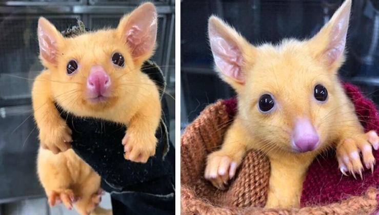 Rare mutated golden Australian possum is named Pikachu