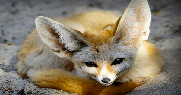 Fun Facts You Didn't Know About Fennec Foxes
