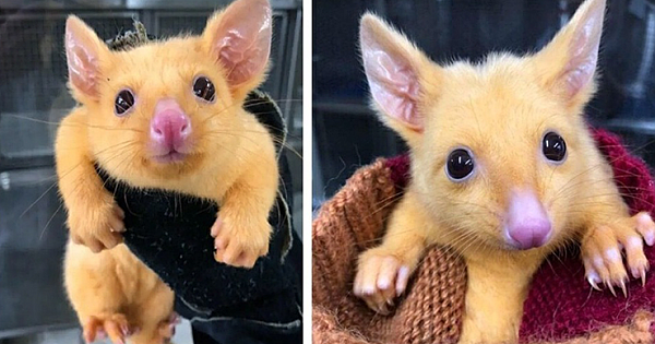 Rare mutated golden Australian possum is named Pikachu