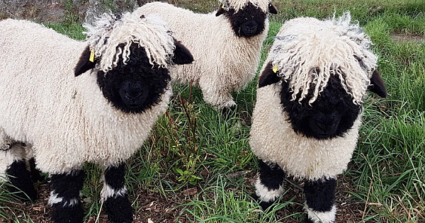 These Valais Blacknose Sheep Look Like Stuffed Animals Even Though They're Real