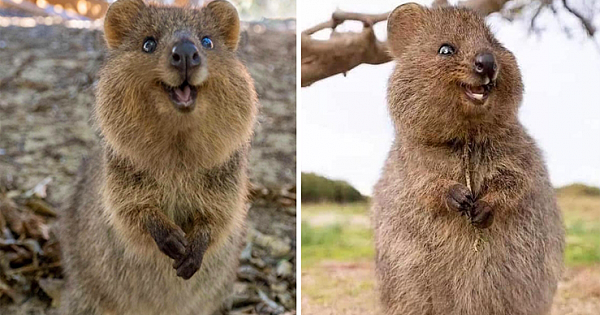 Meet The Happiest Animals On Earth Named Quokkas