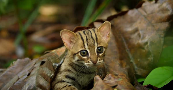 This Is The World's Tiniest Wild Cat, And It Might Be The Cutest Thing You'll See Today