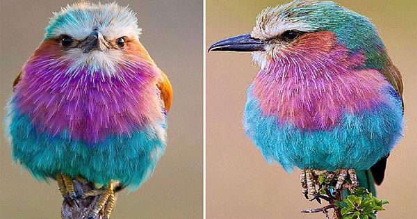 11 Interesting Facts About Strikingly Colorful Bird Lilac-Breasted Roller