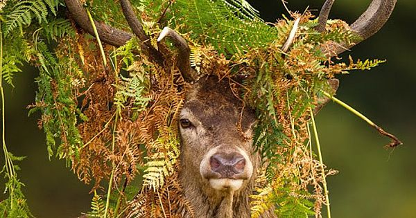 Deer Emerges From The Undergrowth With A Crown Of Bracken And Leaves