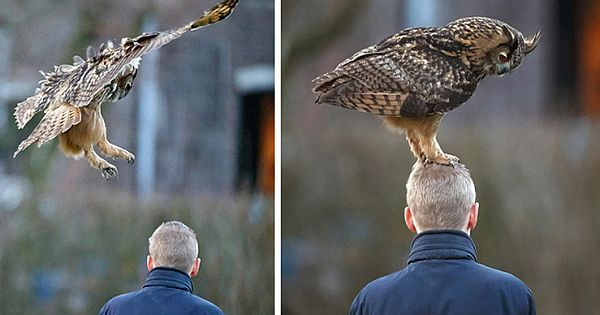 Friendly Dutch Owl Loves To Land On People's Heads