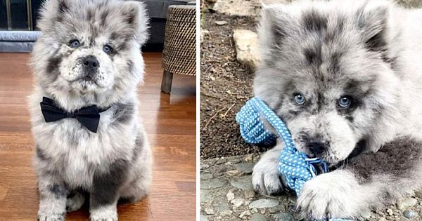 Meet Oreo Cloud, The Adorable Chow Puppy Who Looks Like A Cookies And Cream Ice Cream
