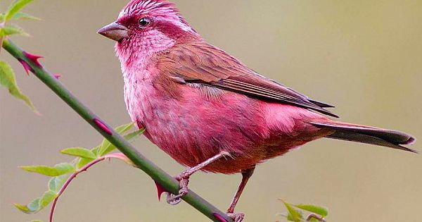 Meet Rosefinches, The Little Birds That Have A Gorgeous Plumage And Melodious Voice