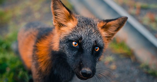 Stunning Orange And Black Fox Strikes A Pose For Friendly Photographer
