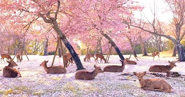 These Deer Hanging Out Beneath Cherry Blossoms In Japan's Nara Park Are Utterly Magical