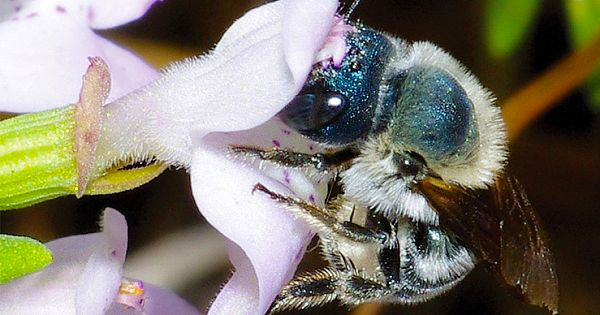 "Ultra Rare ""Blue Bee"" Found in Florida, After Researchers Thought It Might Be Extinct"