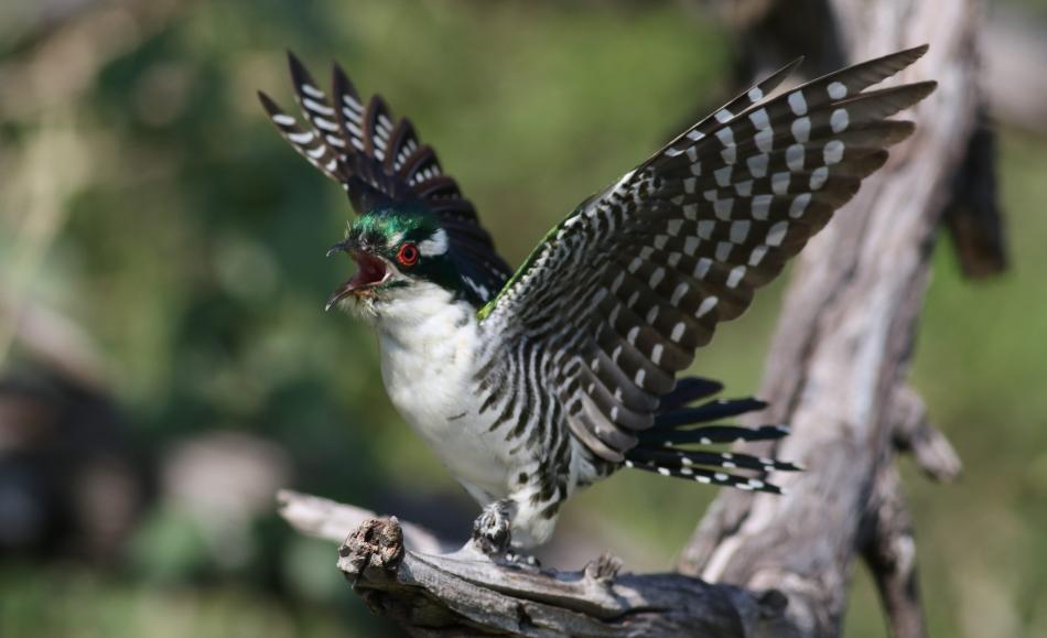 Meet Diederik Cuckoo, One Of The Most Beautiful Bird In The World