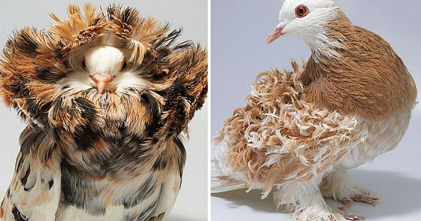 Extraordinary Pigeons You Probably Didn't Know Exist (10 different pigeon species)