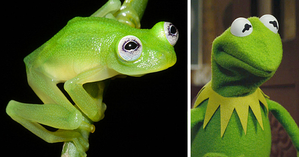 Kermit the Frog Look Alike Discovered In Costa Rica