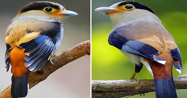 Silver Breasted Broadbill Will Mesmerize You With Its Beauty