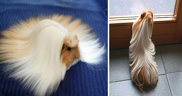 12 Guinea Pigs With The Most Majestic Hair