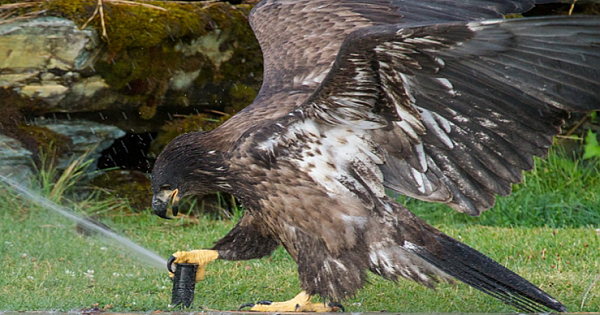 A Young Bald Eagle Plays With A Sprinkler At Flathead Lake, Montana