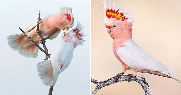 Major Mitchell's Cockatoo With Its Amazing Crest