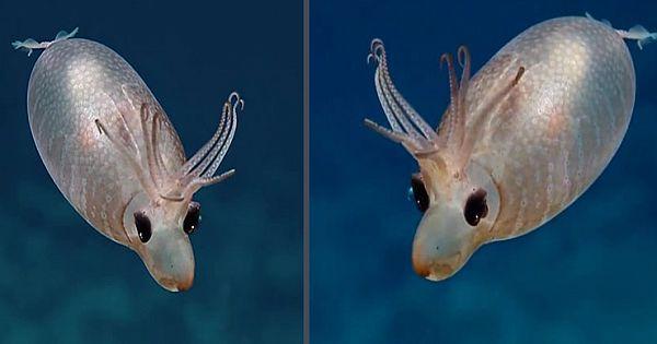 Rare Encounter With Piglet Squid Leaves Deep Sea Explorers Speechless