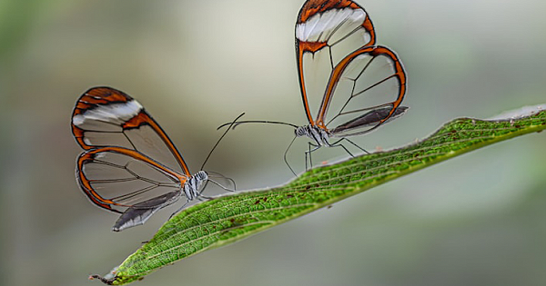 Stunning Glasswing Butterflies Have Wings That Look Like Transparent Windows