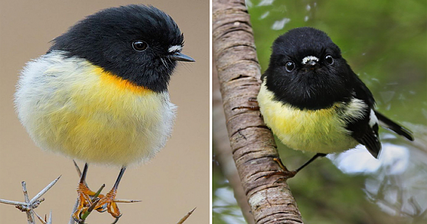 The Cute Tiny Tomtits With Oversized Heads On A Ball Of Yellow Feathers