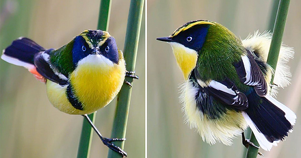 The Many Colored Rush Tyrant Is A Tiny Bird With Vibrant Colors