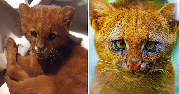 Woman Adopts A Tiny Stray Kitten, Later Finds Out It's Actually A Puma