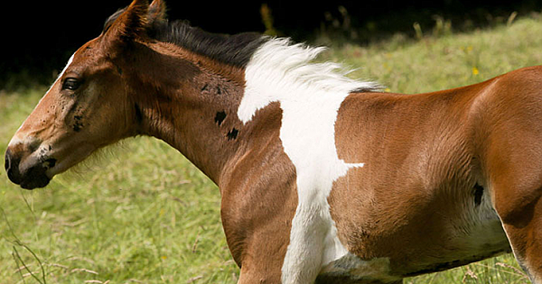 Amazing Foal Born With A Patch By His Mane That Looks Like Another Horse