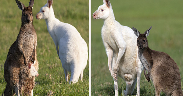 Eastern Grey Kangaroo Gives Birth To Baby That Looks JUST Like His Dad