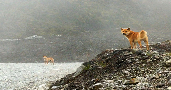 For The First Time In 50 Years, Ancient Breed Of Singing Dog Gets Spotted In The Wild