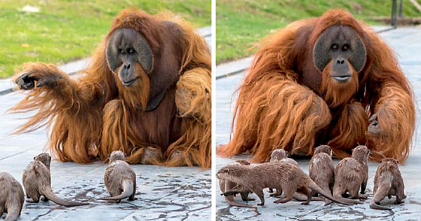 "The ""Very Special Bond"" Between Orangutans And Otters"