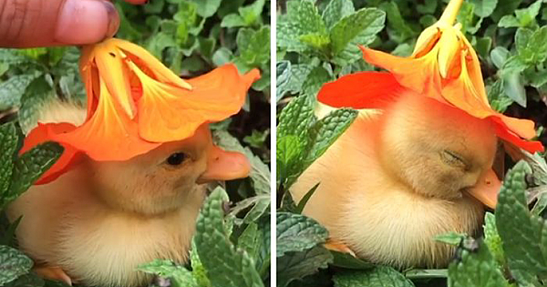 This Video Of A Baby Duck Falling Asleep With A Flower On Its Head Will Heal Your Soul