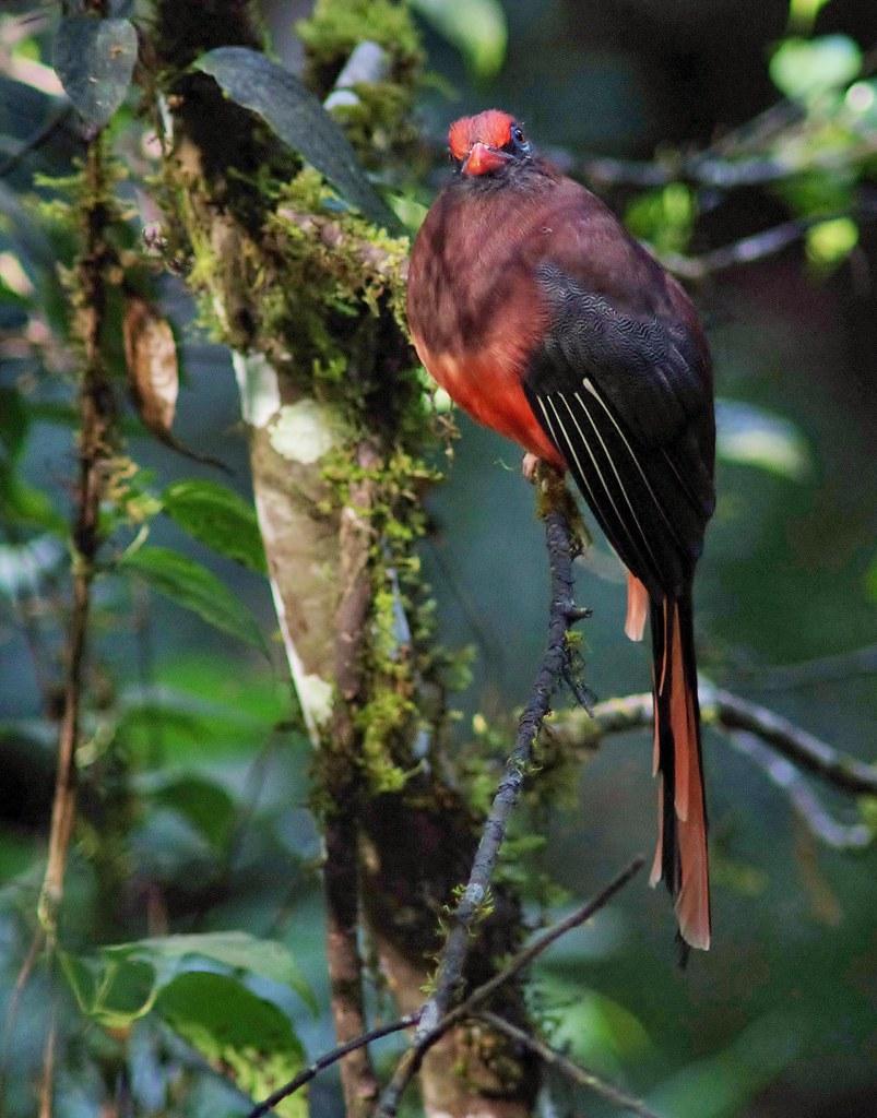 The Beautiful Maroon Bird Of Southeast Asia — Ward's Trogon