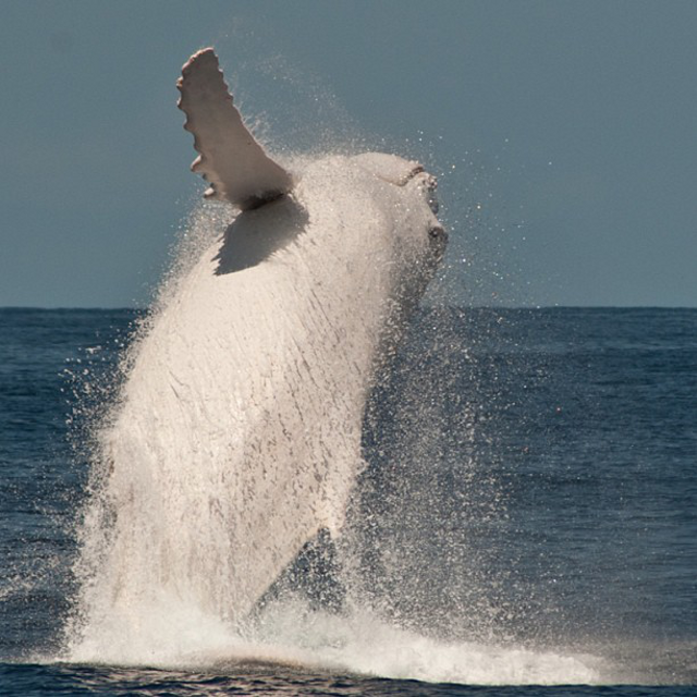 An Up-Close Encounter With Migaloo – The Only White Humpback Whale In The World