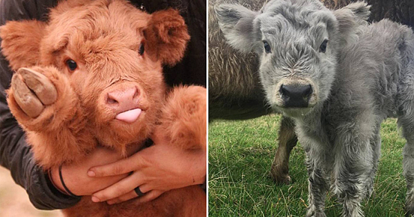 Highland Cattle Calves Are The Most Adorable And Cuddly Cows You Will Ever See