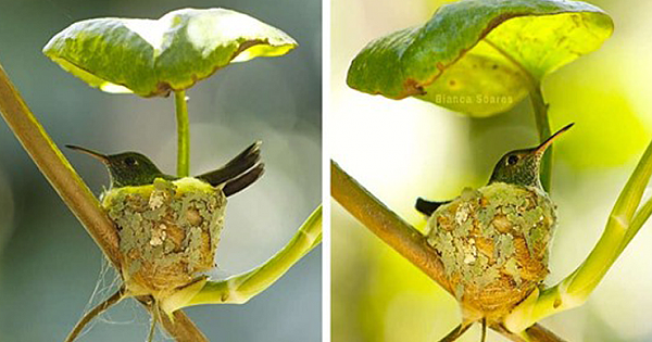 Hummingbird Builds A Nest With A Tiny Roof Overhead