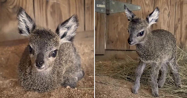 This Newly Born Baby Antelope Will Make Your Day! It's So Adorable
