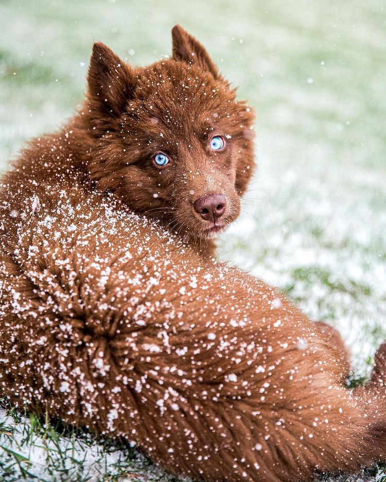 This Rare Chocolate Brown Siberian Husky Is One of the Most Beautiful Dogs on Instagram