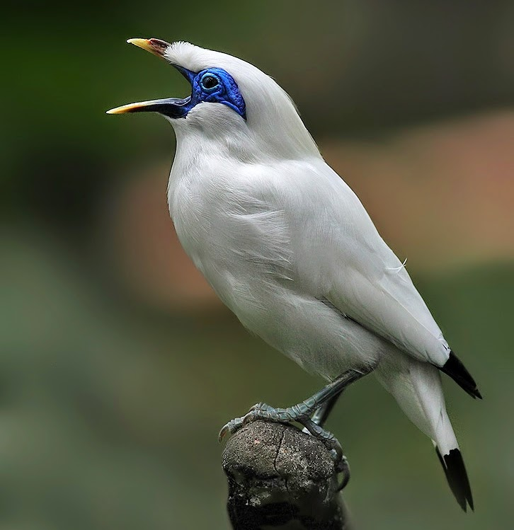 Meet Critically-Endangered Bali Starlings, Are So Pretty In White