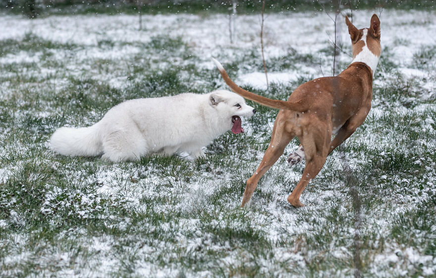 After Rescued From A Fur Farm, Snow Fox Reacted To Snow For The First Time In His Life