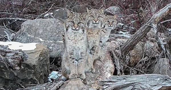 Photographer Flies Drone To Discover A Once-In-A-Lifetime Shot Of 3 Bobcats Sitting On A Log