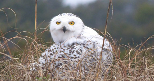 RARE Snowy Owl Returns to Ocracoke – North Carolina