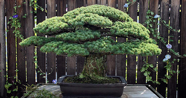 This Bonsai Tree Was Planted In 1625, Survived The Bombing Of Hiroshima And Is Still Growing Today